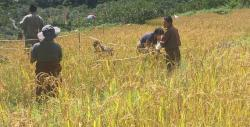 paddy Cultivation in Khatoed Gewog